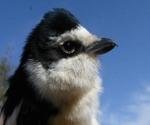 http://farmaster.pl/article.html?newsid=2090&title=skrzydlaci-mysliwi-w-masce-zorro